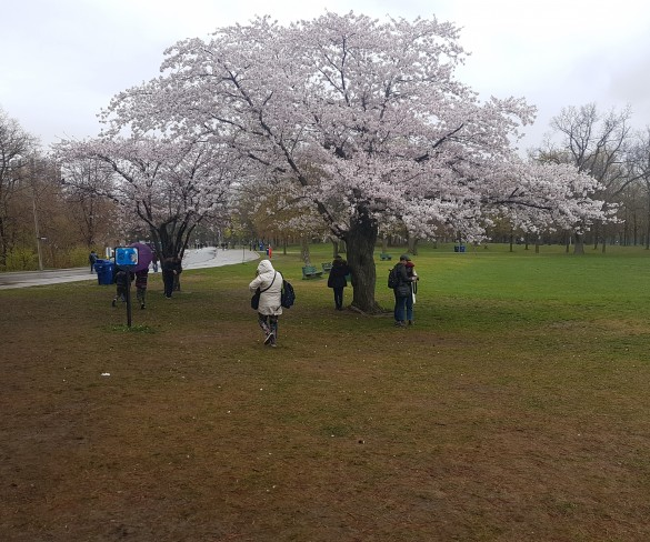 Cherry Blossom High Park Toronto 2019 Information and Photos
